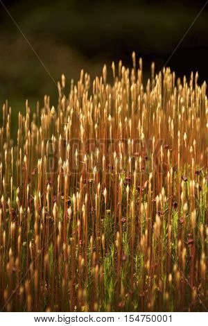 Moss spore capsules catching the golden hour light, beautiful
