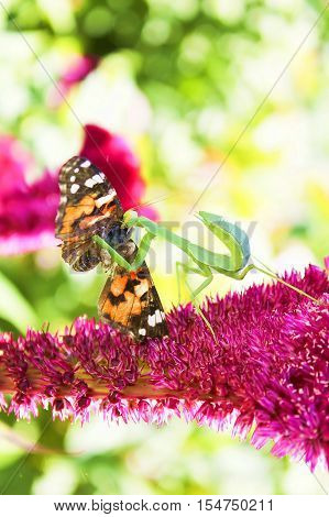In summer on a flower played off a whole tragedy.A mantes managed to catch a beautiful butterfly and tries to eat it.