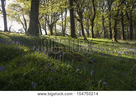 Sunbeams lighting up the beautiful bluebells and green ancient forest