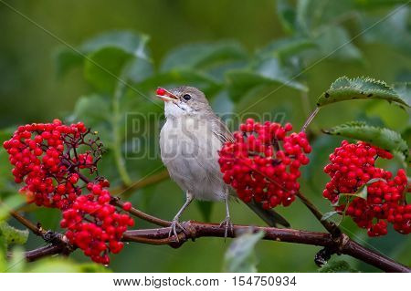 the grey Warbler bird eats the ripe red berries of elderberry in the summer garden