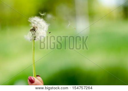 Dandelion on a green background. Women's fingers