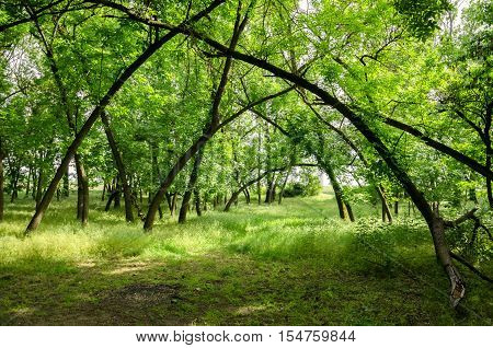 Magic forest. Energy field in the forest. Leaning trees. Hungarian countryside. Green.