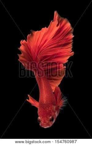 Capture the moving moment of fighting fish isolated on black background