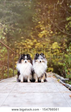 two sheltie dogs posing together in autumn