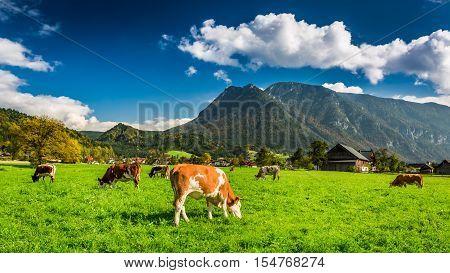 Herd of cows grazing in Alps, Austria