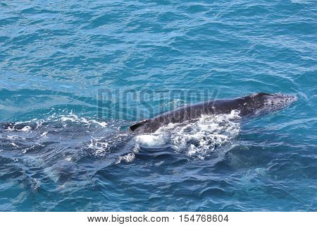 Young Humpback Whale Hervey Bay Australia