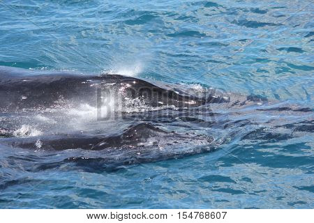 Humpback whale mother with Calf Hervey Bay Australia