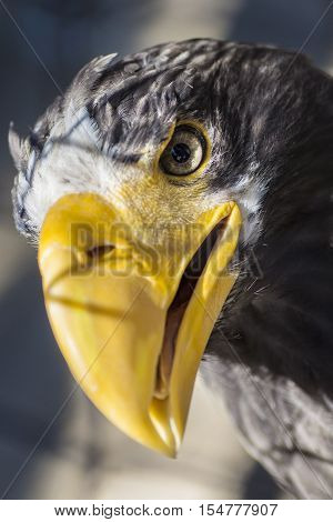 Portrait of Stellers sea eagle - Haliaeetus pelagicus, one of the largest of sea and fish eagles