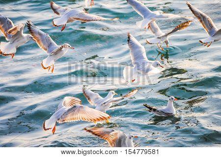 Gulls Fishing Near The Shore Of The Bosporus. Turkey, Istanbul.
