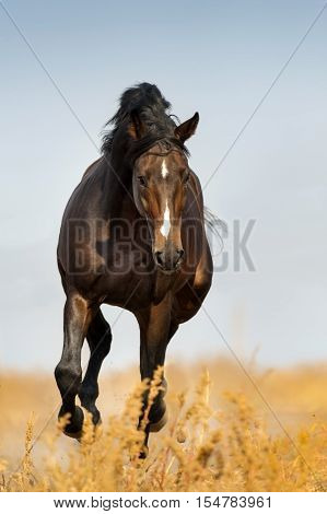 Bay horse run trot in autumn field