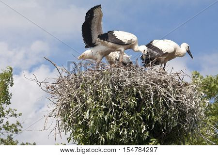 Stork's Nest With Young Storks
