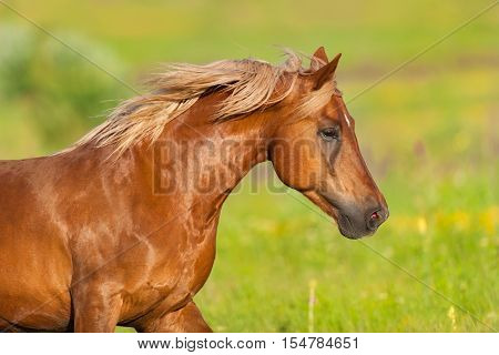 Beautiful red horse with long mane close up portrait in motion at summer day