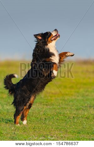 Bernese mountain dog play and jump outdoor