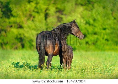 Mare with foal  grazing on spring pasture