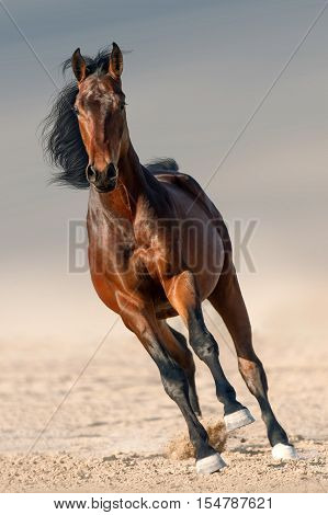 Bay horse with long mane run gallop in sand