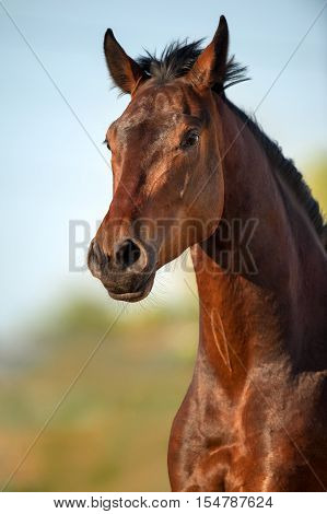 Beautiful bay horse portrait in motion outdoor