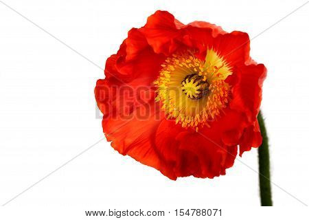 poppies Isolated on white background . Flover