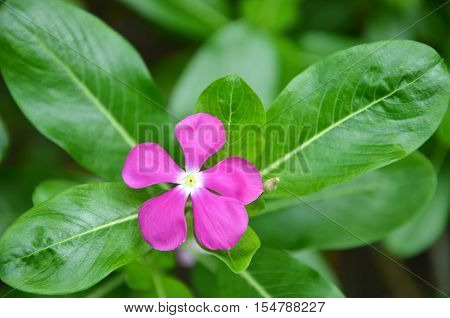 Beautiful pink vinca flowers or madagascar periwinkle