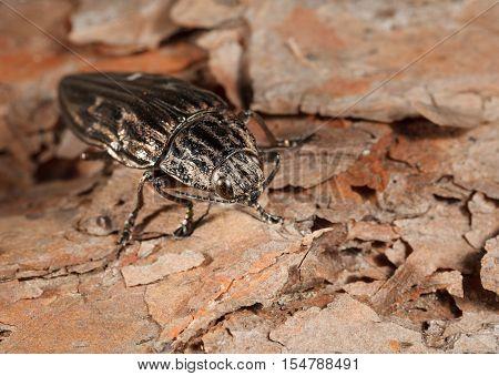 Beetle Over Bark