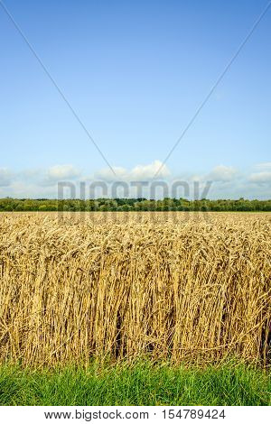 Closeup of the culivation of Common Wheat or Triticum aestivum plants in the Netherlands on a sunny day in the summer season. The wheat is almost ready for harvesting.
