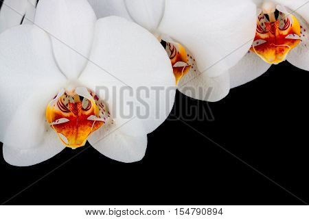 orchid on the black background . Flower