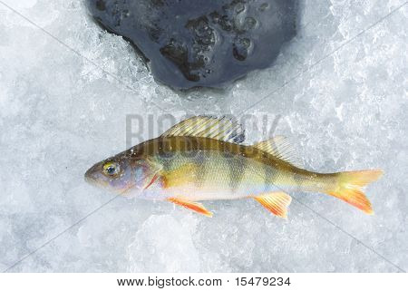 perch fish and ice hole