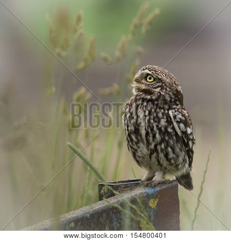 wild little owl sat on edge of farm equipment.(Athene noctua)wild eye countryside predator uk prey looking one brown single alone farmland feathers perch perching smallest farm adult natural post