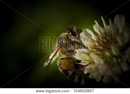 a honey bee pollinating a clover flower