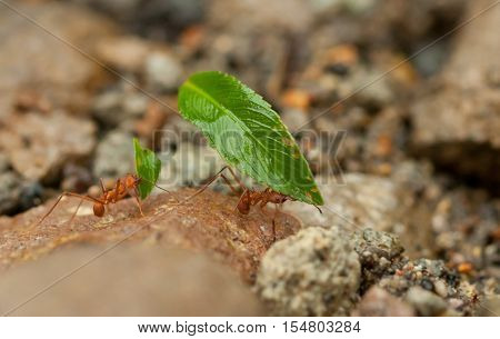 Leafcutter ants Atta sexdens. Wild life animal.