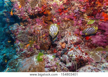 Pair Of Butterfly Fishes In Coral Reef, Maldives