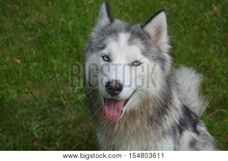 Good looking Siberian husky dog in the grass.