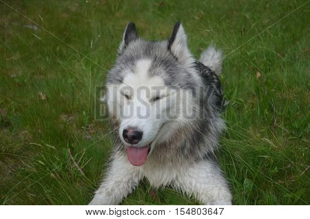 Siberian husky dog with a great big smile on his face.