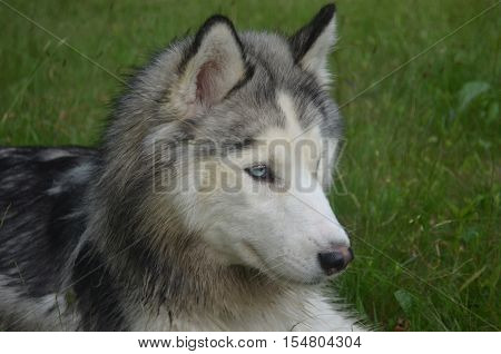 Gorgeous face of a Siberian husky dog.