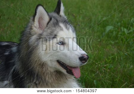 Very pretty Siberian husky dog in a grass field.