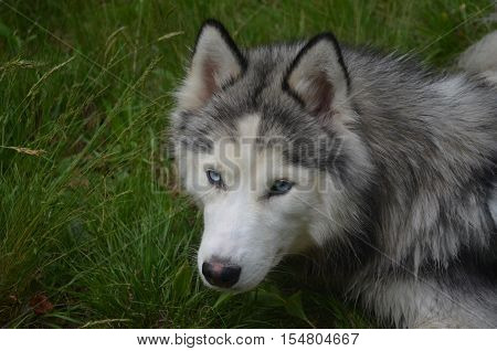 Alert and attentive Siberian husky dog in grass
