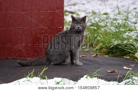 The big grey cat who sits on the pavement near the corner of the house.The cat sits in the grass and snow.