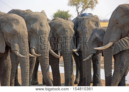 A straight line of six elephants with their heads all next to each other and trunks hanging in unison in Hwange National Park
