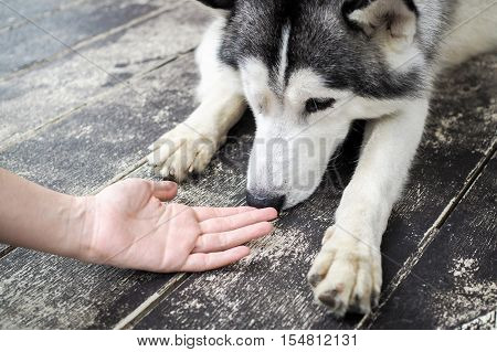 Young Husky Siberian Dog Sniffing At Human Hands