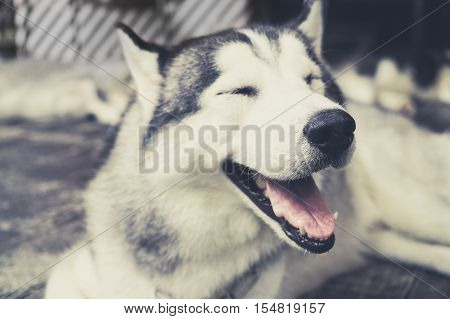 Husky Siberian dog happily laughing and smiling outside in vintage tone.