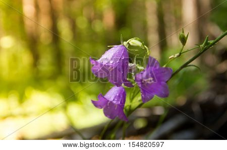 Hyacinthoides non-scriptus - Summer flowers - Bluebell in forest, wild Russia