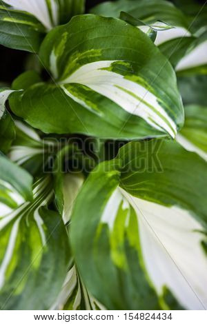 Close up of the hosta green-white leaves