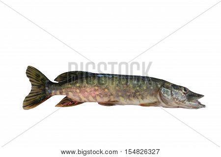 Pike isolated on white background. Freshwater fish is found in Europe, in rivers and lakes.