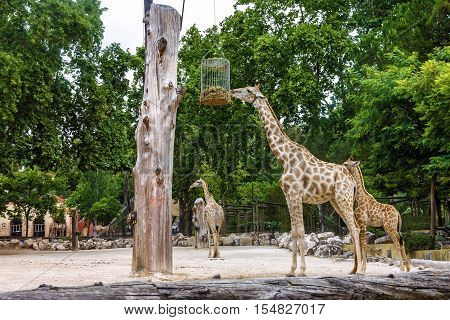 Giraffe family feeding in Lisbon zoological park