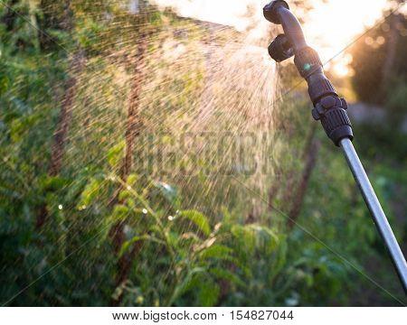 Garden sprayer spraying water over young green tomato stems.