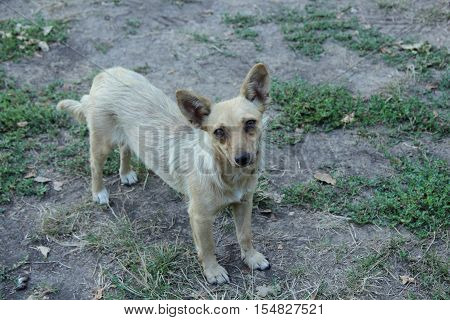 a mongrel dog brown color standing on a meadow