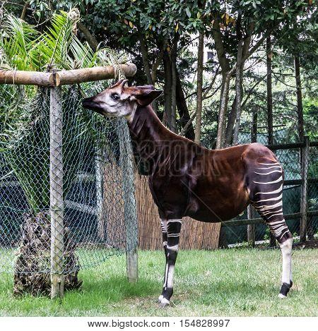 Okapi feeding in Lisbon zoo. Mammal animal