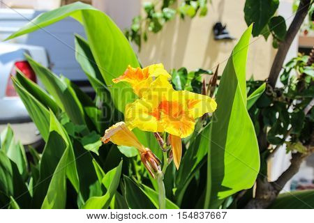 Canna Lily (Canna) - blooming yellow flowers in a garden