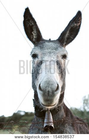 Portrait of a funny donkey with big ears in the field