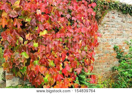A wall of leaves showing the beautiful colours of Autumn