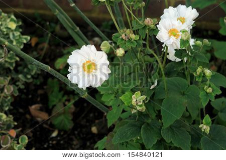 The beautiful white flower Anemone Lady White